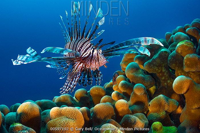 Common Lionfish (Pterois volitans), Christmas Island, Australia