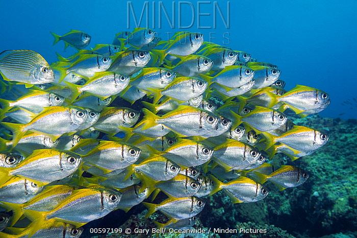 Eastern Pomfred (Schuettea scalaripinnis) school, Solitary Islands Marine Park, New South Wales, Australia