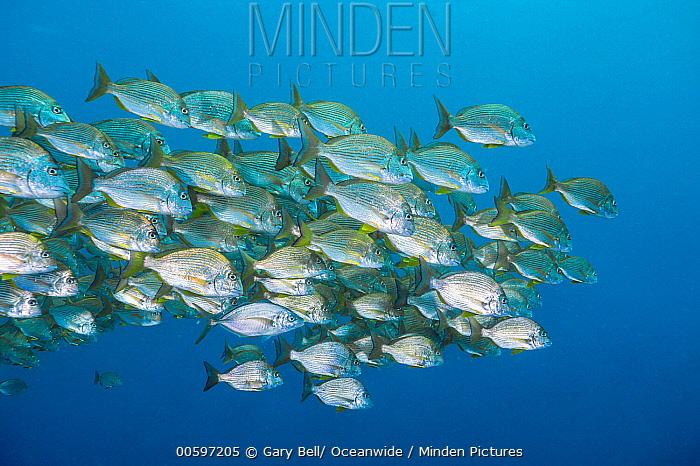 Goldlined Seabream (Rhabdosargus sarba) school, Solitary Islands Marine Park, New South Wales, Australia