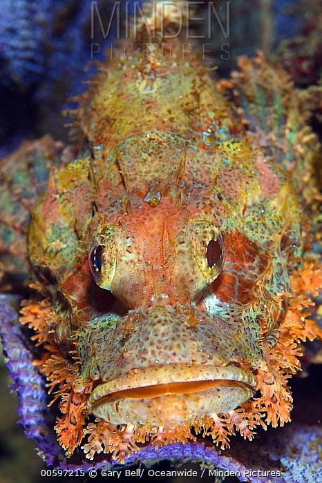 Tassled Scorpionfish (Scorpaenopsis oxycephala), Anilao, Philippines