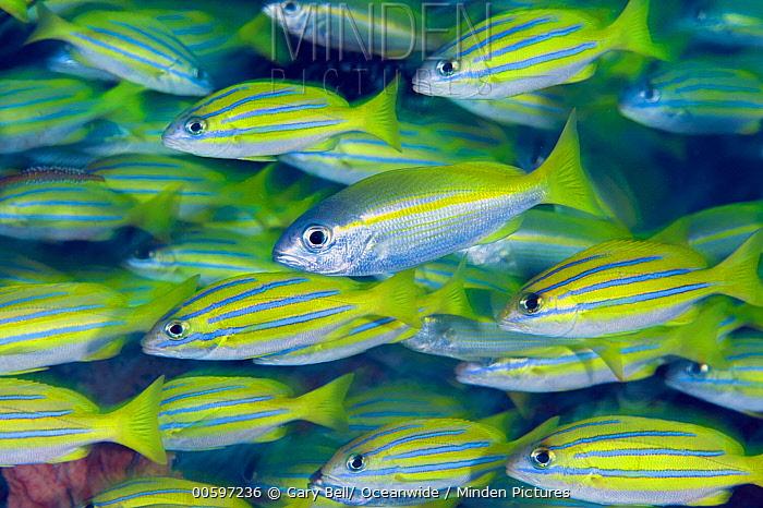 Bluestripe Snapper (Lutjanus kasmira) school with single Bigeye Snapper (Lutjanus lutjanus), Great Barrier Reef, Australia