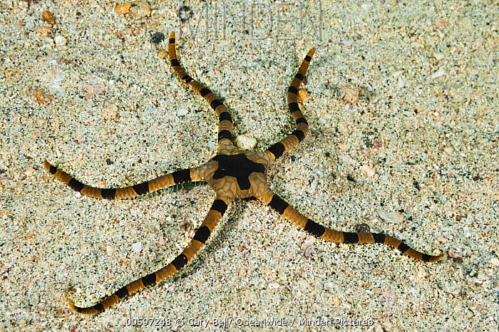 Brittle Star (Ophiolepis sp), Anilao, Philippines