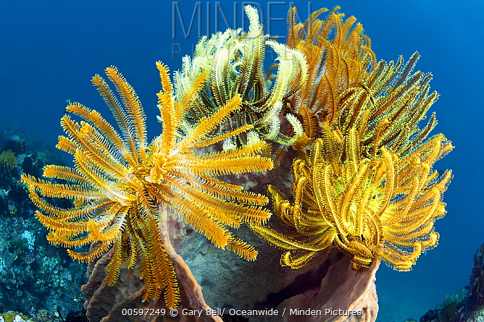 Feather Star (Oxycomanthus sp) group on Giant Barrel Sponge (Xestospongia testudinaria) in coral reef, Great Barrier Reef, Australia