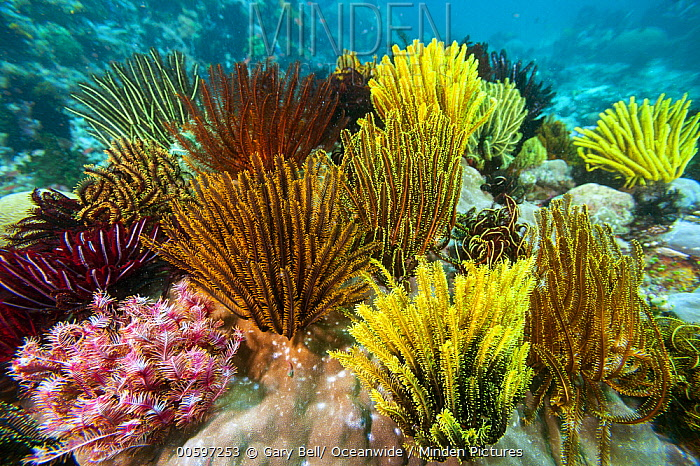 Feather Star Crinoid (Oxycomanthus bennetti) group in coral reef, Great Barrier Reef, Queensland, Australia