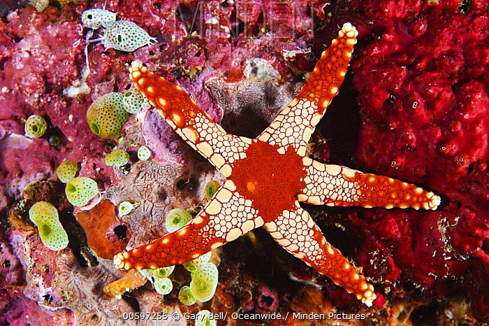 Candy Cane Sea Star (Fromia monilis), Anilao, Philippines