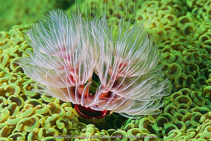 Hard Tube Coco Worm (Protula magnifica) filter feeding in Euphyllia Coral (Euphyllia ancora), Great Barrier Reef, Australia
