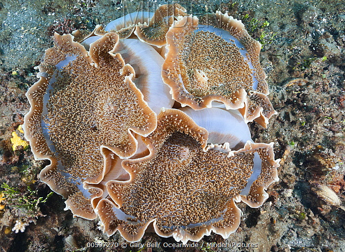 Giant Cup Mushroom Coral (Amplexidiscus fenestrafer), Great Barrier Reef, Australia