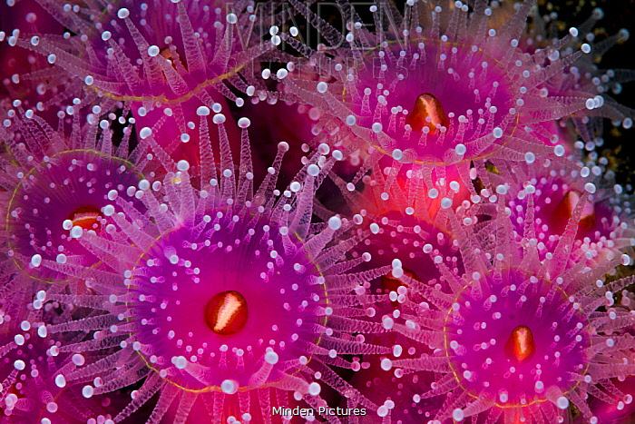 Sea Anemone (Corynactis australis) group, Bicheno, Tasmania, Australia