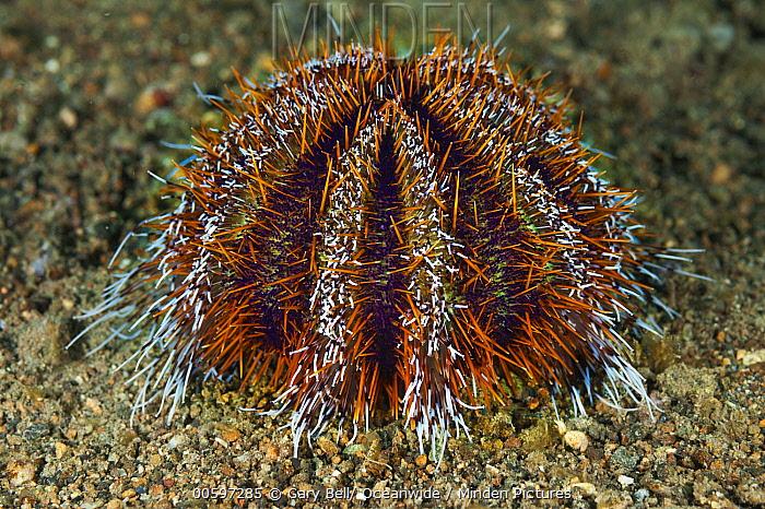 Hawaiian Sea Urchin (Tripneustes gratilla), Anilao, Philippines