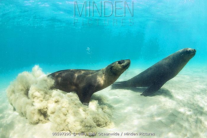 Cape Fur Seal (Arctocephalus pusillus) pair, Port Phillip Bay, Mornington Peninsula, Victoria, Australia