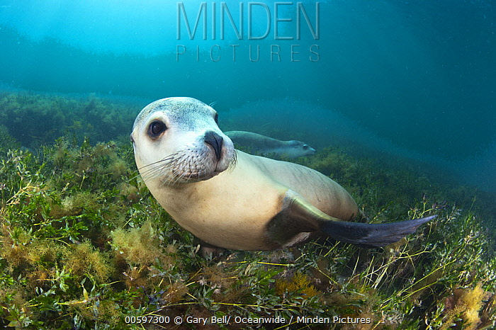 Australian Sea Lion (Neophoca cinerea), Hopkins Island, South Australia, Australia