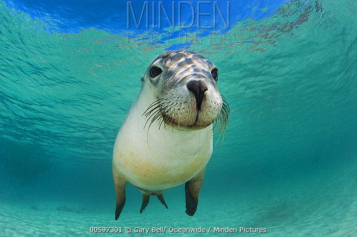 Australian Sea Lion (Neophoca cinerea), Hopkins Island, South Australia, Australia