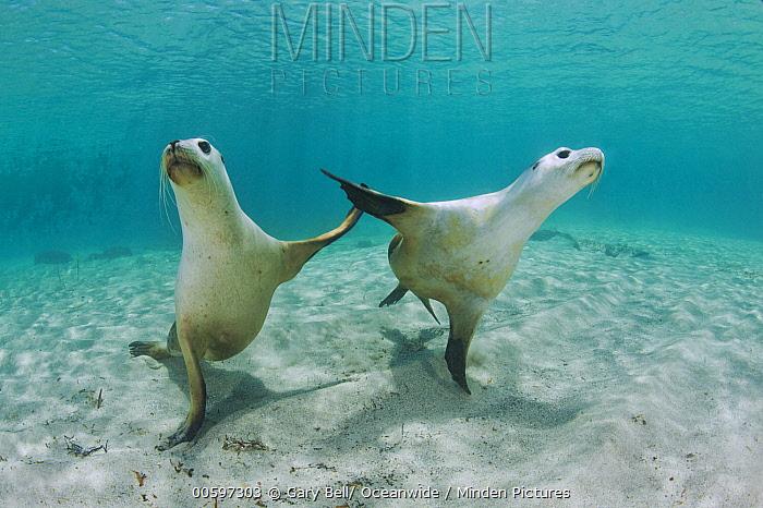 Australian Sea Lion (Neophoca cinerea) pair, Hopkins Island, South Australia, Australia