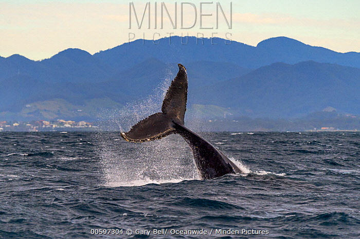 Humpback Whale (Megaptera novaeangliae) tail slapping, Coffs Harbor, Solitary Islands Marine Park, New South Wales, Australia