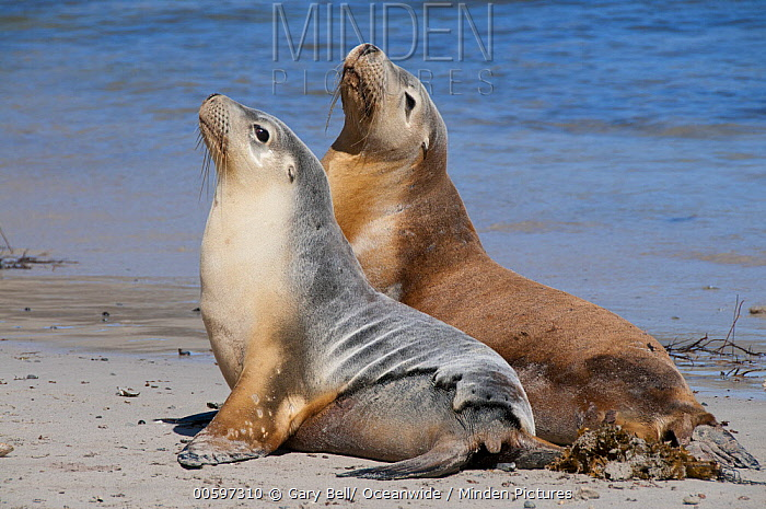 Australian Sea Lion (Neophoca cinerea) bull and female, Hopkins Island, South Australia, Australia