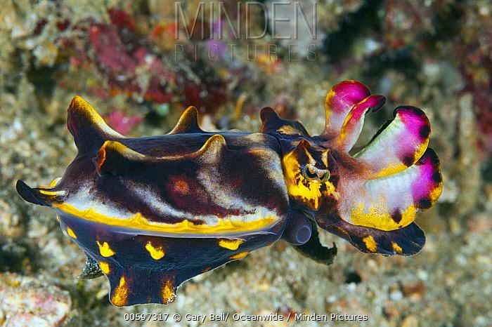 Flamboyant Cuttlefish (Metasepia pfefferi), Anilao, Philippines
