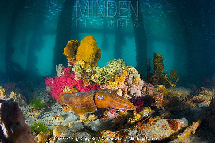 Australian Giant Cuttlefish (Sepia apama) under pier, Port Phillip Bay, Mornington Peninsula, Victoria, Australia