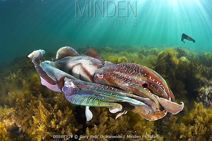 Australian Giant Cuttlefish (Sepia apama) males fighting over female, Whyalla, South Australia, Australia