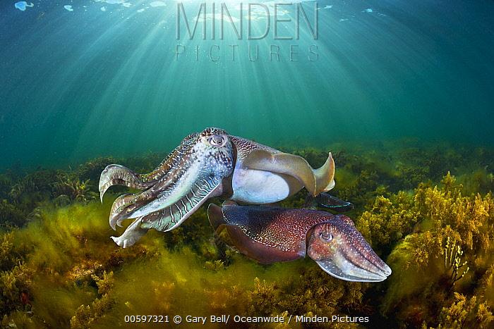 Australian Giant Cuttlefish (Sepia apama) male and female, Whyalla, South Australia, Australia