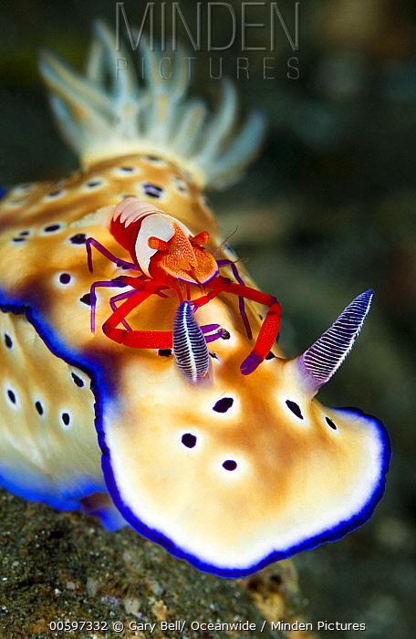 Tyron's Risbecia (Risbecia tryoni) with commensal Emperor Shrimp (Periclimenes imperator), Milne Bay, Papua New Guinea