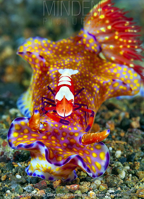 Nudibranch (Ceratosoma sp) with commensal Emperor Shrimp (Periclimenes imperator), Philippines