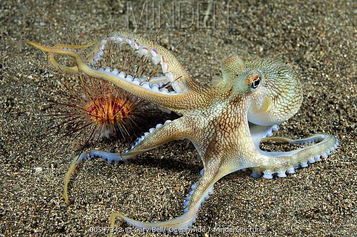 Veined Octopus (Octopus marginatus) predating urchin, Anilao, Philippines