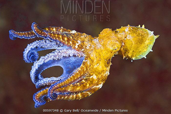 Wonderpus Octopus (Wunderpus photogenicus), Anilao, Philippines
