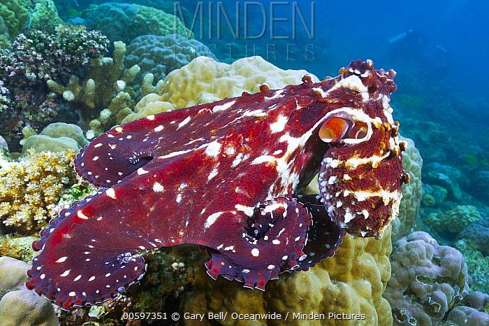Reef Octopus (Octopus cyanea), Milne Bay, Papua New Guinea