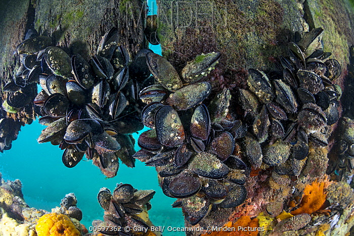 Mediterranean Mussel (Mytilus galloprovincialis) group, Port Phillip Bay, Mornington Peninsula, Victoria, Australia