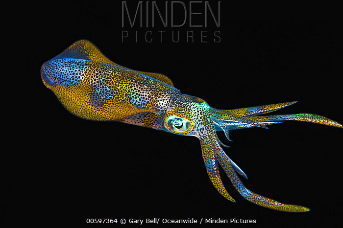 Bigfin Reef Squid (Sepioteuthis lessoniana) juvenile at night, Anilao, Philippines