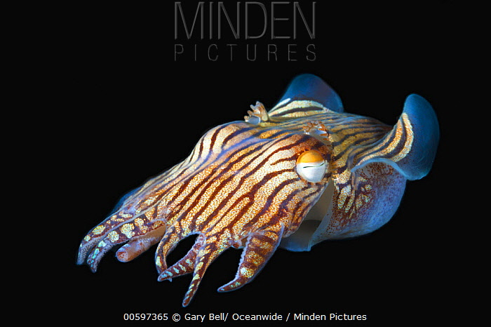 Striped Pyjama Squid (Sepioloidea lineolata) at night, Yorke Peninsula, South Australia, Australia