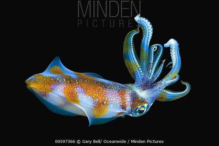 Bigfin Reef Squid (Sepioteuthis lessoniana) at night, Milne Bay, Papua New Guinea
