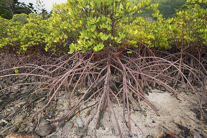 Spider Mangrove (Rhizophora stylosa) stilt roots at low tide, Hook Island, Whitsunday Islands, Queensland, Australia
