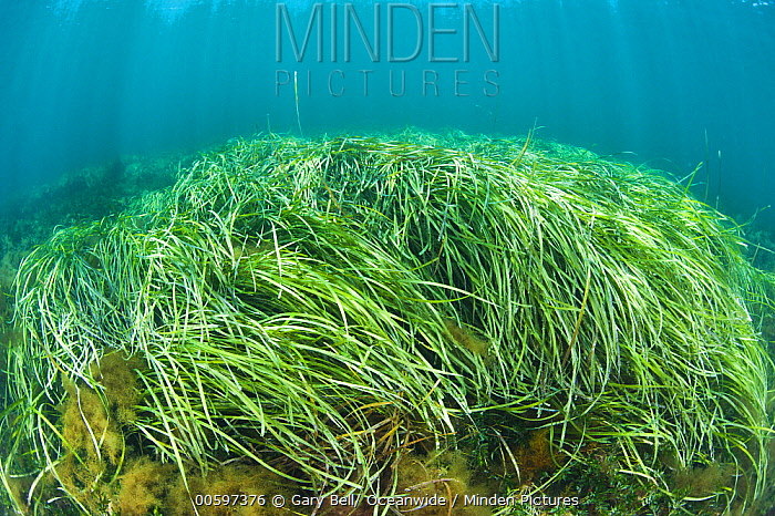 Eelgrass (Zostera tasmanica), Hopkins Island, South Australia, Australia