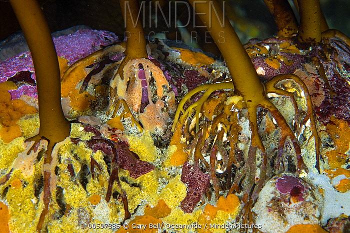 Kelp holdfasts, Governor Island Marine Reserve, Bicheno, Tasmania, Australia