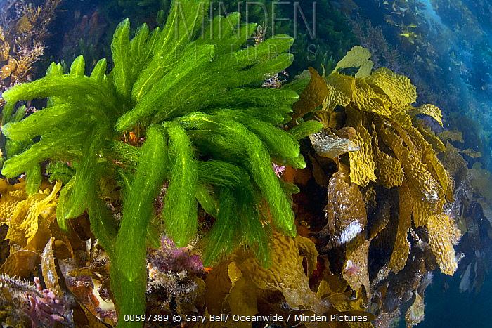 Kelp and algae, Port Phillip Bay, Mornington Peninsula, Victoria, Australia