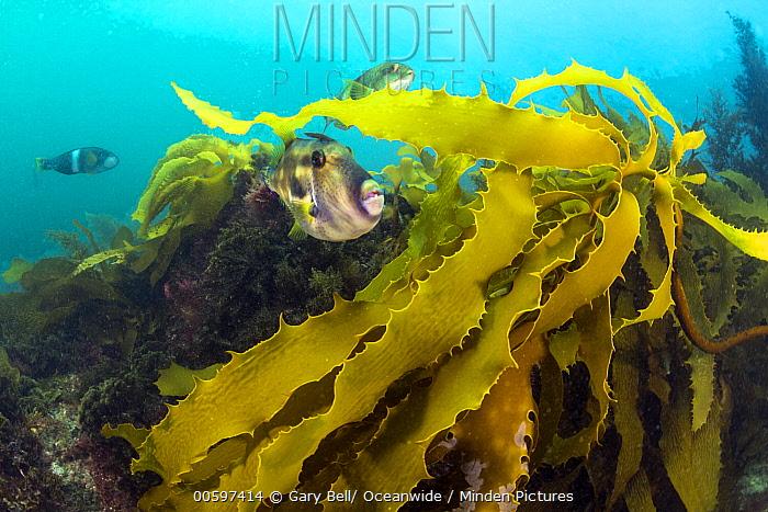 Six-spined Leatherjacket (Meuschenia freycineti) group amongst kelp, Port Phillip Bay, Mornington Peninsula, Victoria, Australia