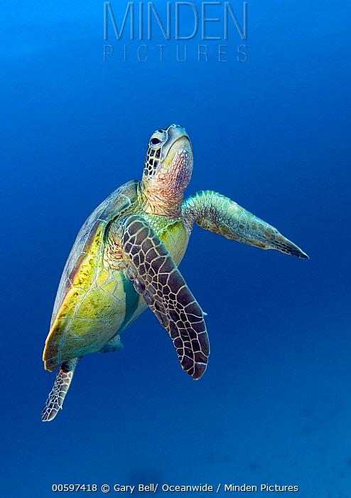 Green Sea Turtle (Chelonia mydas), Heron Island, Great Barrier Reef, Queensland, Australia