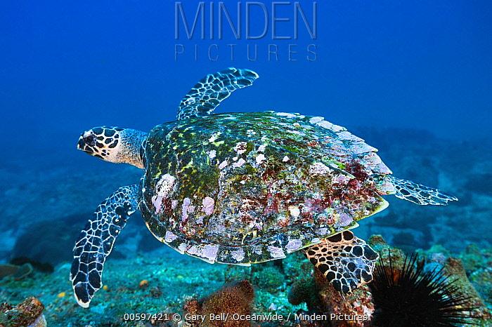 Hawksbill Sea Turtle (Eretmochelys imbricata), Solitary Islands Marine Park, New South Wales, Australia