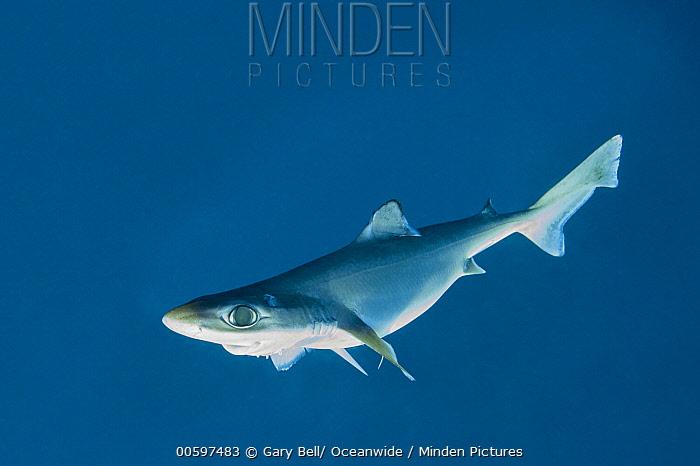 Little Gulper Shark (Centrophorus uyato), South Australia, Australia