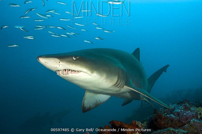 Grey Nurse Shark (Carcharias taurus), Solitary Islands Marine Park, New South Wales, Australia