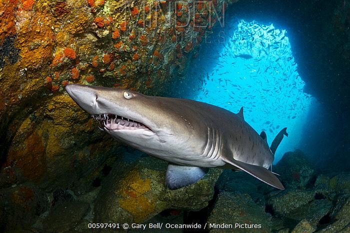 Grey Nurse Shark (Carcharias taurus), Fish Rock, New South Wales, Australia