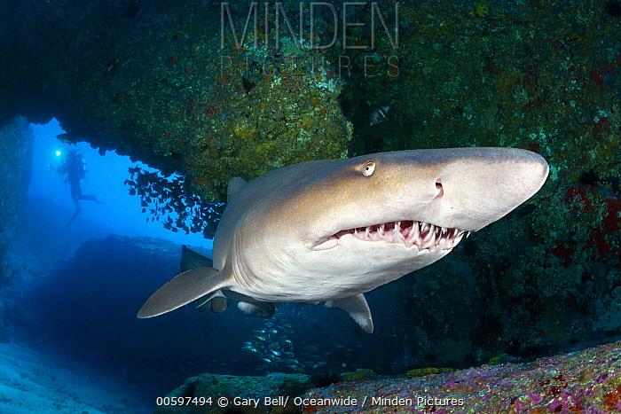 Grey Nurse Shark (Carcharias taurus) and diver, Solitary Islands Marine Park, New South Wales, Australia