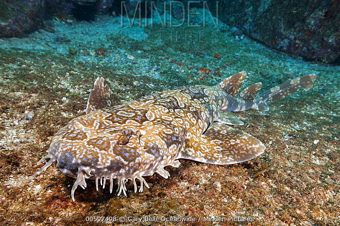 Spotted Wobbegong (Orectolobus maculatus), Solitary Islands Marine Park, New South Wales, Australia