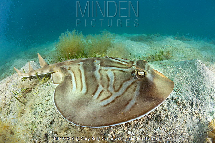 Southern Fiddler Ray (Trygonorrhina fasciata), Port Phillip Bay, Mornington Peninsula, Victoria, Australia