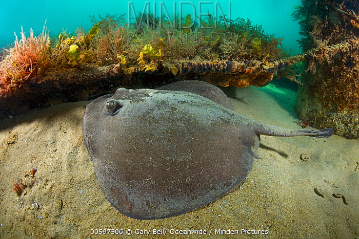Stingaree (Trygonoptera sp), Port Phillip Bay, Mornington Peninsula, Victoria, Australia