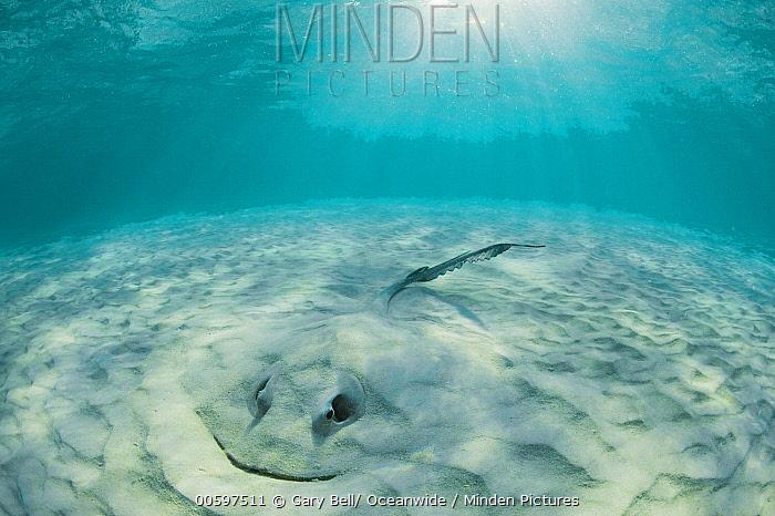 Cowtail Stingray (Pastinachus sephen) buring in sand, Heron Island, Great Barrier Reef, Queensland, Australia