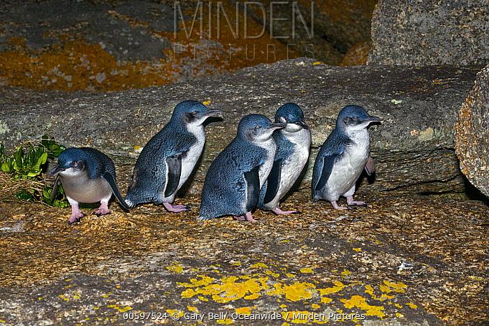 Little Blue Penguin (Eudyptula minor) group, Bicheno, Tasmania, Australia