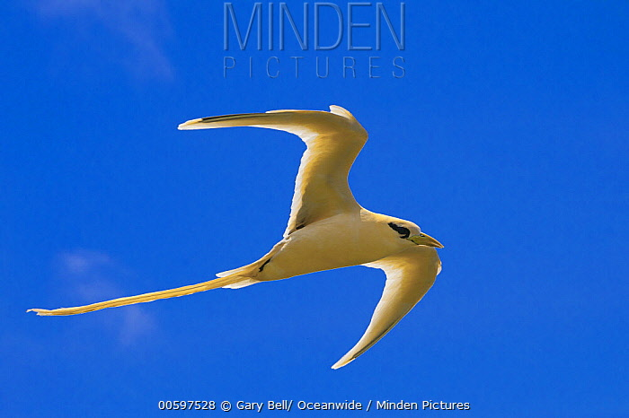 White-tailed Tropicbird (Phaethon lepturus) flying, Christmas Island, Australia