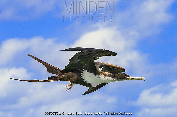 Christmas Island Frigatebird (Fregata andrewsi) flying, Australia